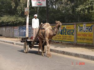 O camelo