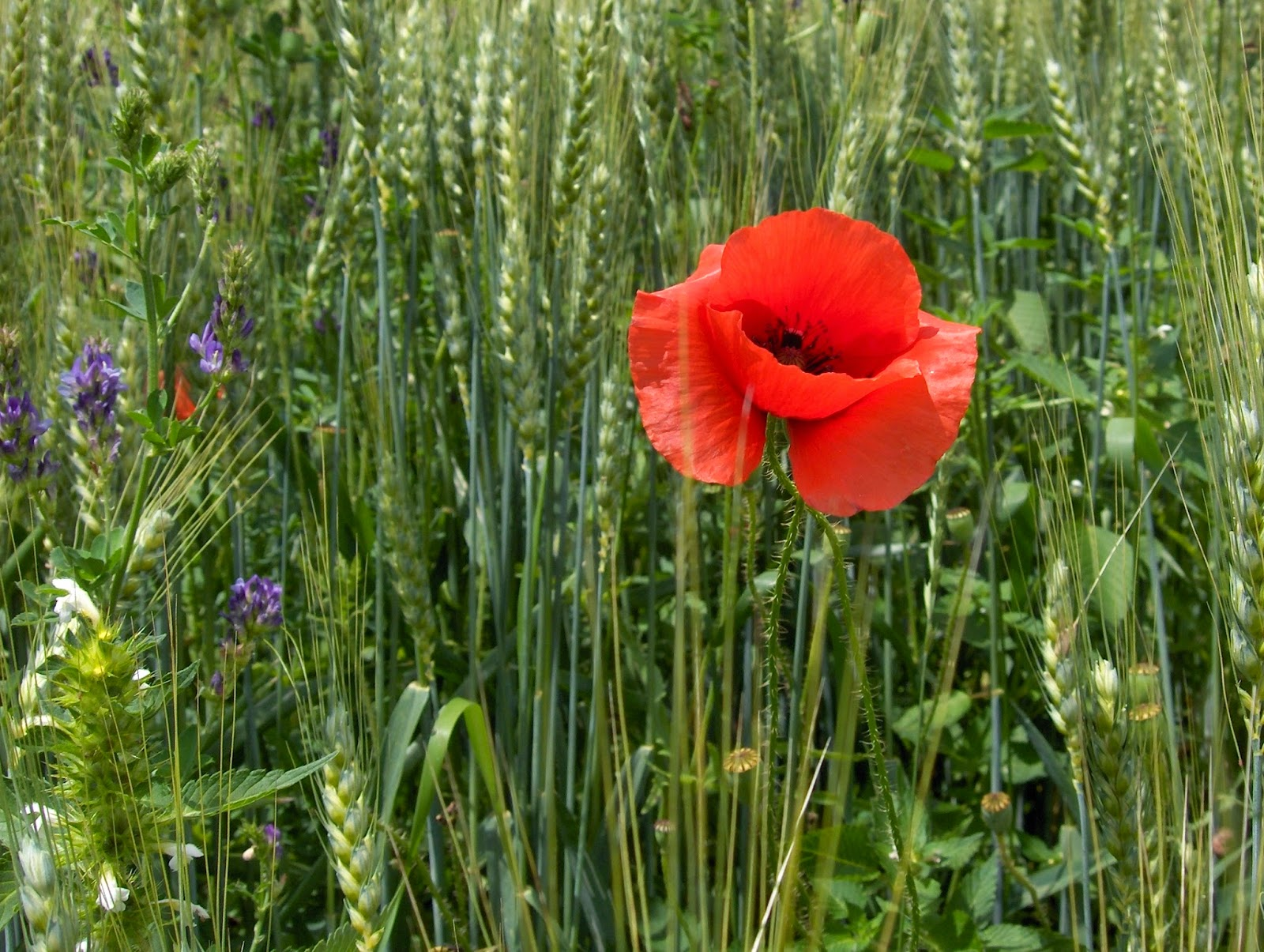 Red poppy ina field