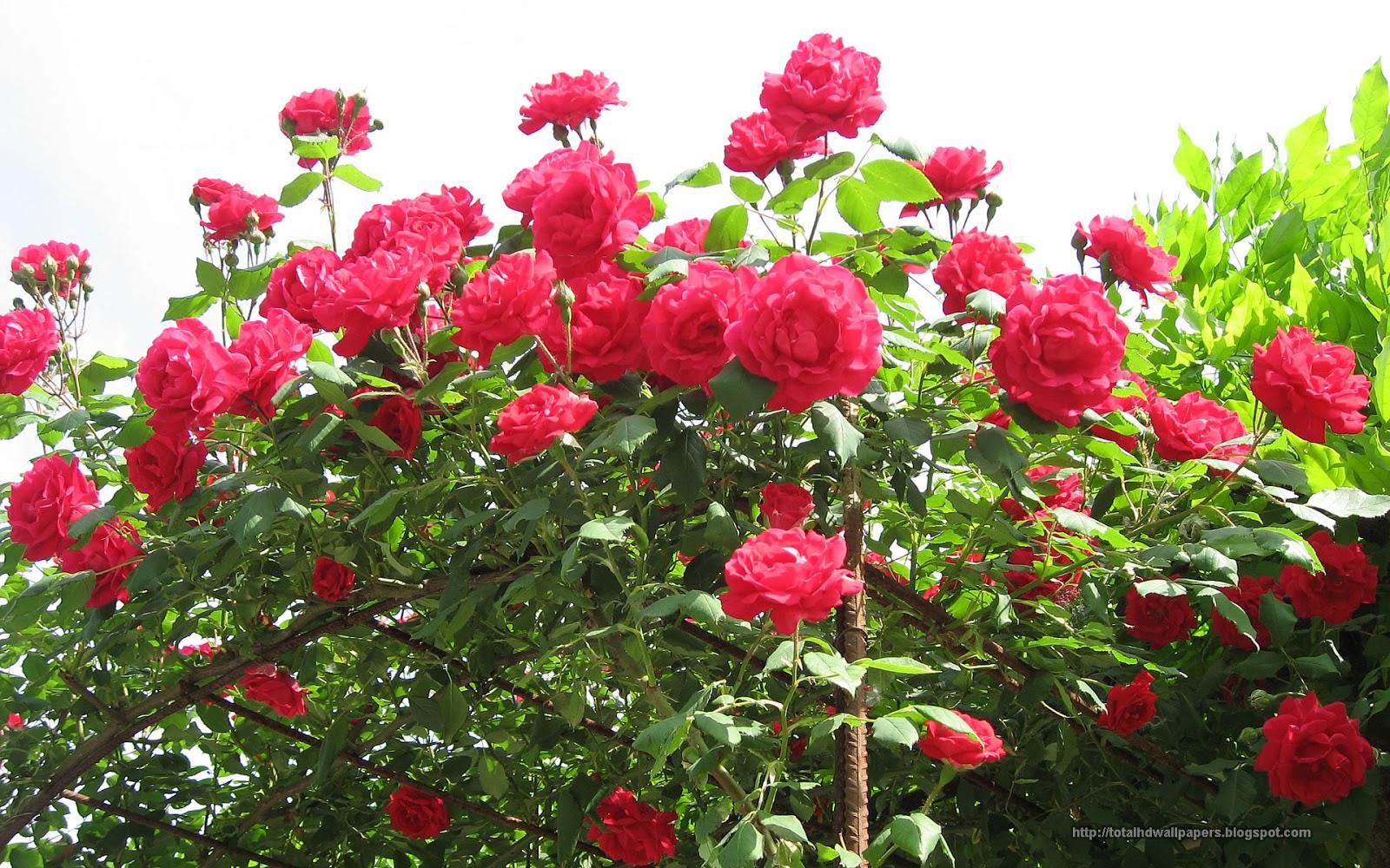 Rose wallpapers hd - Rose desktop wallpaper hd ...