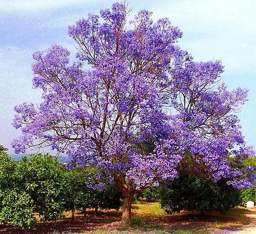 for Albero con fiori blu