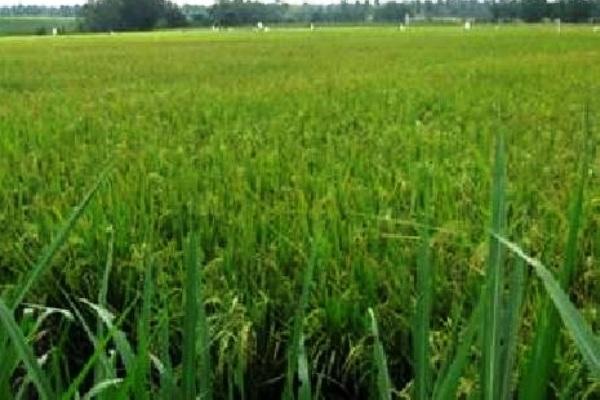 Pertanian. Kotabumi Lampung Utara