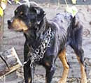 dog chained 2
