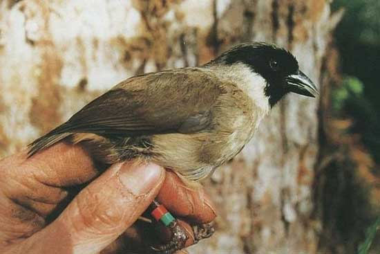 Most Amazing Recently Extinct Animals Poʻouli or Black-faced Honeycreeper