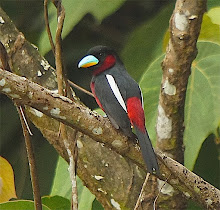 Black-and-red broadbill_2011