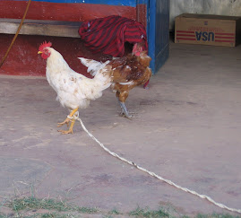 Chicken on a Leash