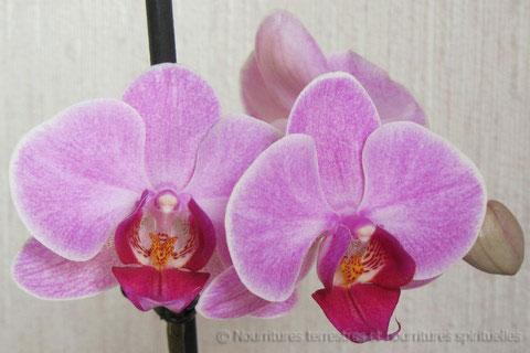 Orchidée repousse