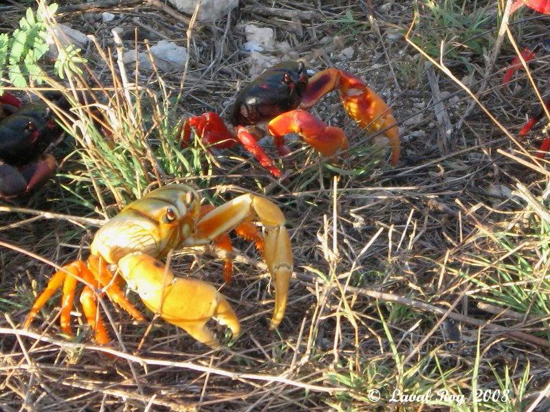 Crabe ewe - Page 2 Crabes++Playa+Larga++6+avril+2008++Cuba+IMG_1469