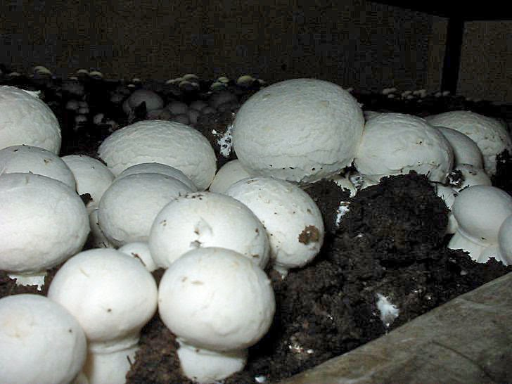 Champignons im Keller anbauen