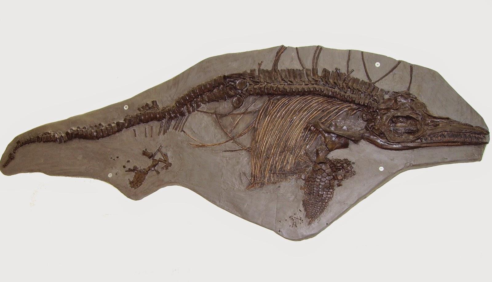 ICHTHYOSAURUS (ITTIOSAURUS) UN ANIMALE ESTINTO NEL GIURASSICO INFERIORE