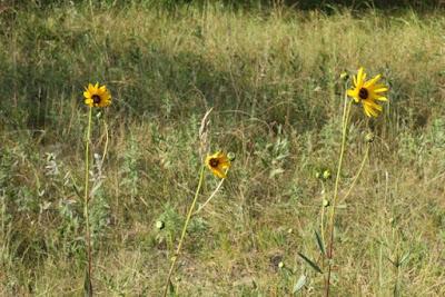Helianthus pauciflorus (Stiff Sunflower)?