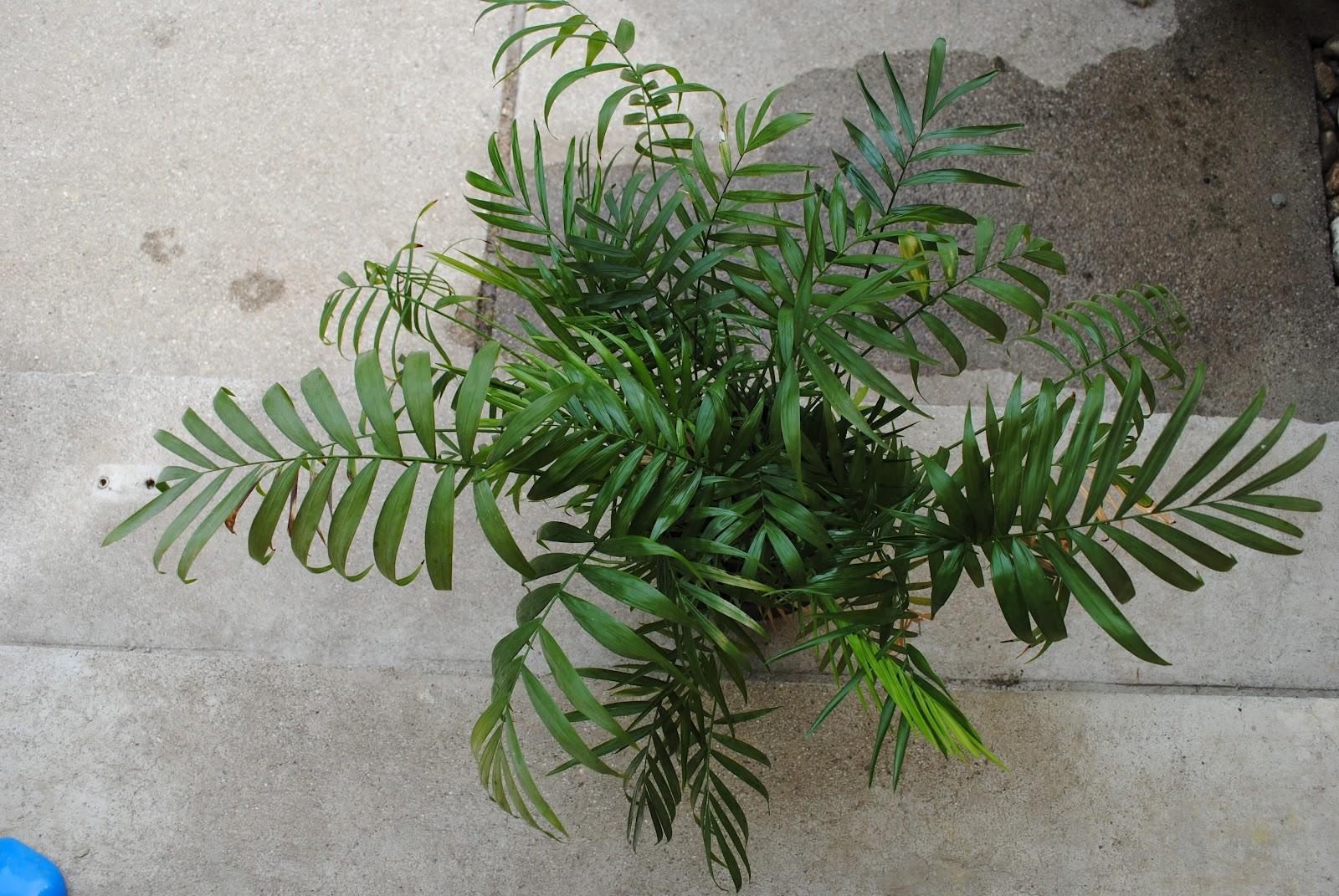 Zimmerpflanze palmenart raum und m beldesign inspiration - Palmenarten zimmerpflanzen ...