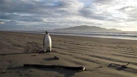 Binatang Lucu Penguin yang Tersesat ke Selandia Baru!