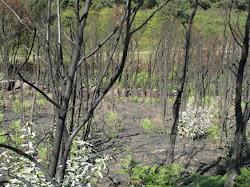 Sobreiros queimados... junto às Minas Gémeas