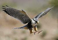 HD desktop wallpaper falcons collection (6)