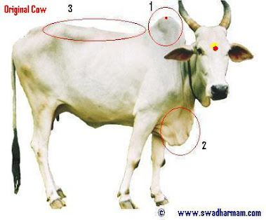 Original Desi Cow Features