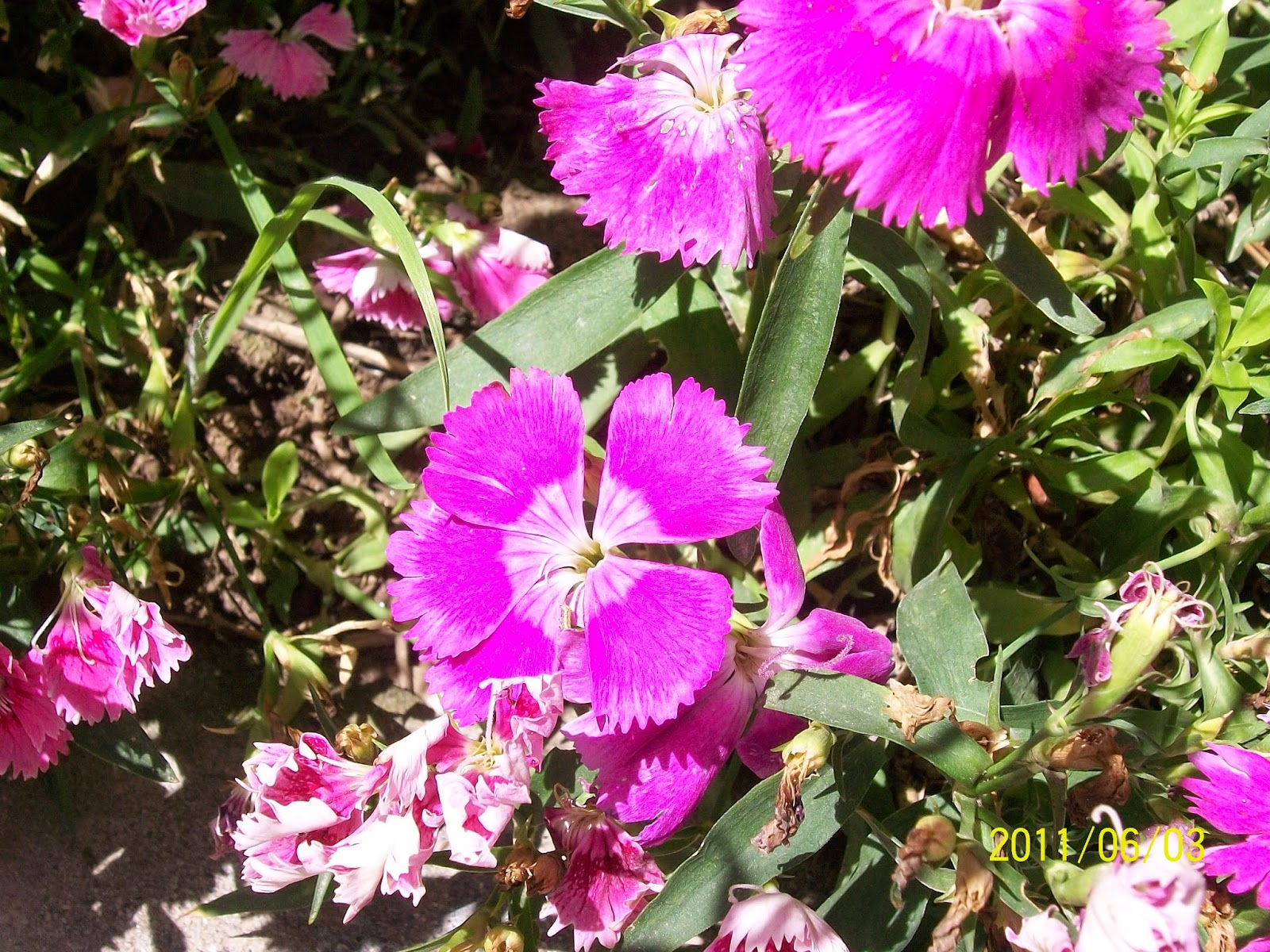 Manali Flowers