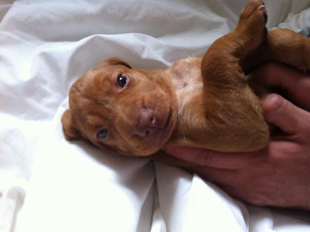 Adorable cachorrito Vizsla De La Muela de Cortes