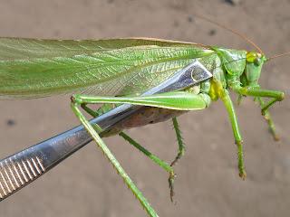 Большой зеленый кузнечик