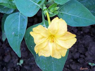 Flower: Sandhya malati