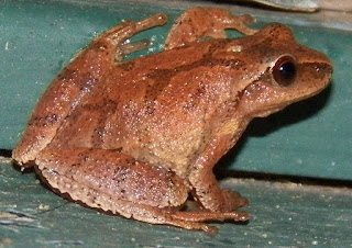 Spring Peeper (Pseudacris crucifer) - The Cross-bearing Frog