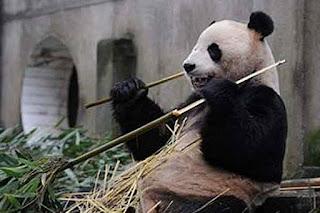 Sweetie panda