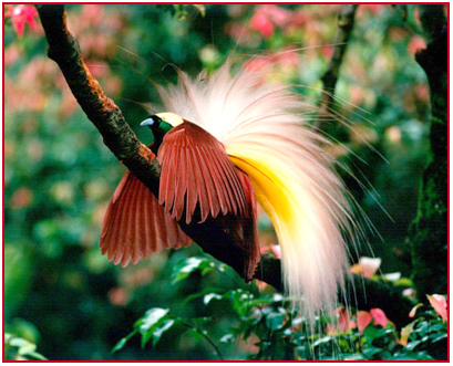 Foto keindfahan burung Cendrawasih - VIVAforum