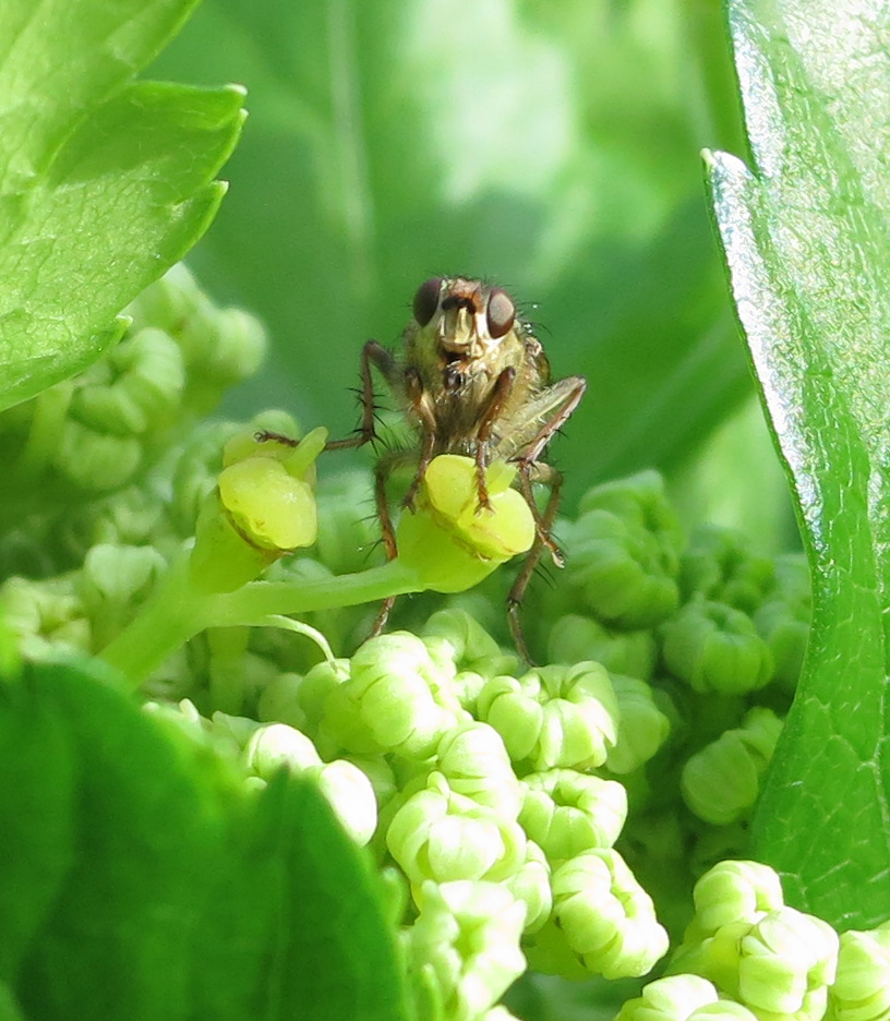 Fly with big brown eyes sitting on alexanders flower and gazing into the camera lens