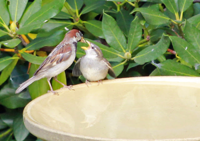house sparrow feeds fledgling