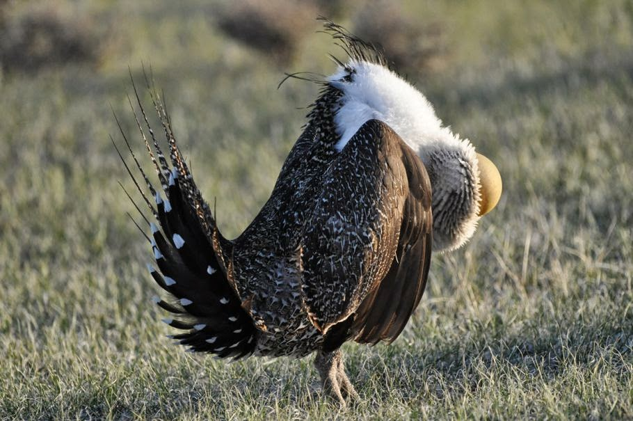 Pictures of Greater sage-grouse