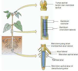 Ciri ciri jaringan meristem dan jaringan dewasa