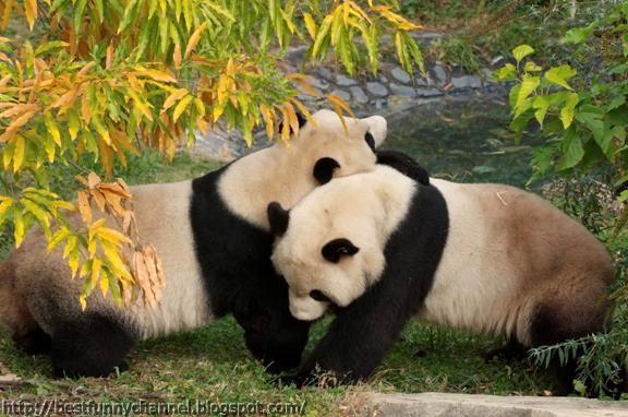Cute pandas.