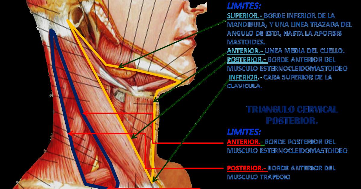 triangulos del cuello   Triangulos del Cuello