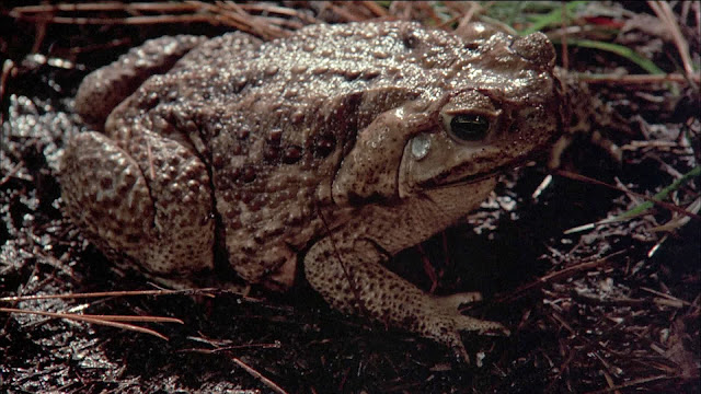 http://mattedscreen.blogspot.com/p/frogs-food-of-gods-blu-ray-screenshots.html