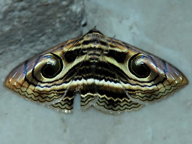 Sommerfugl med 'moustache-overskæg' på vingerne