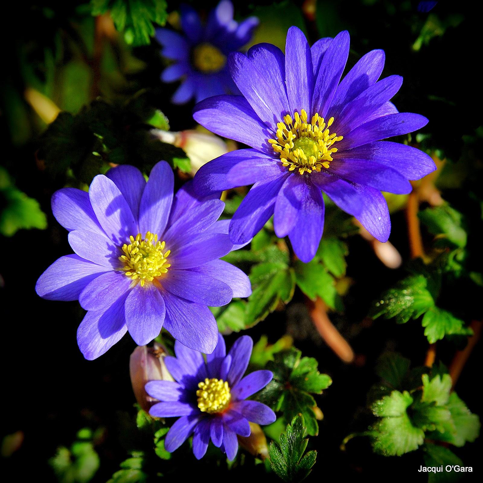 lewisia cotyledon spring follows winter