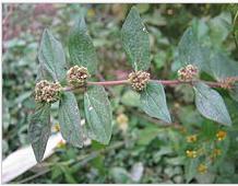Euphorbia hirta (Patikan kebo)