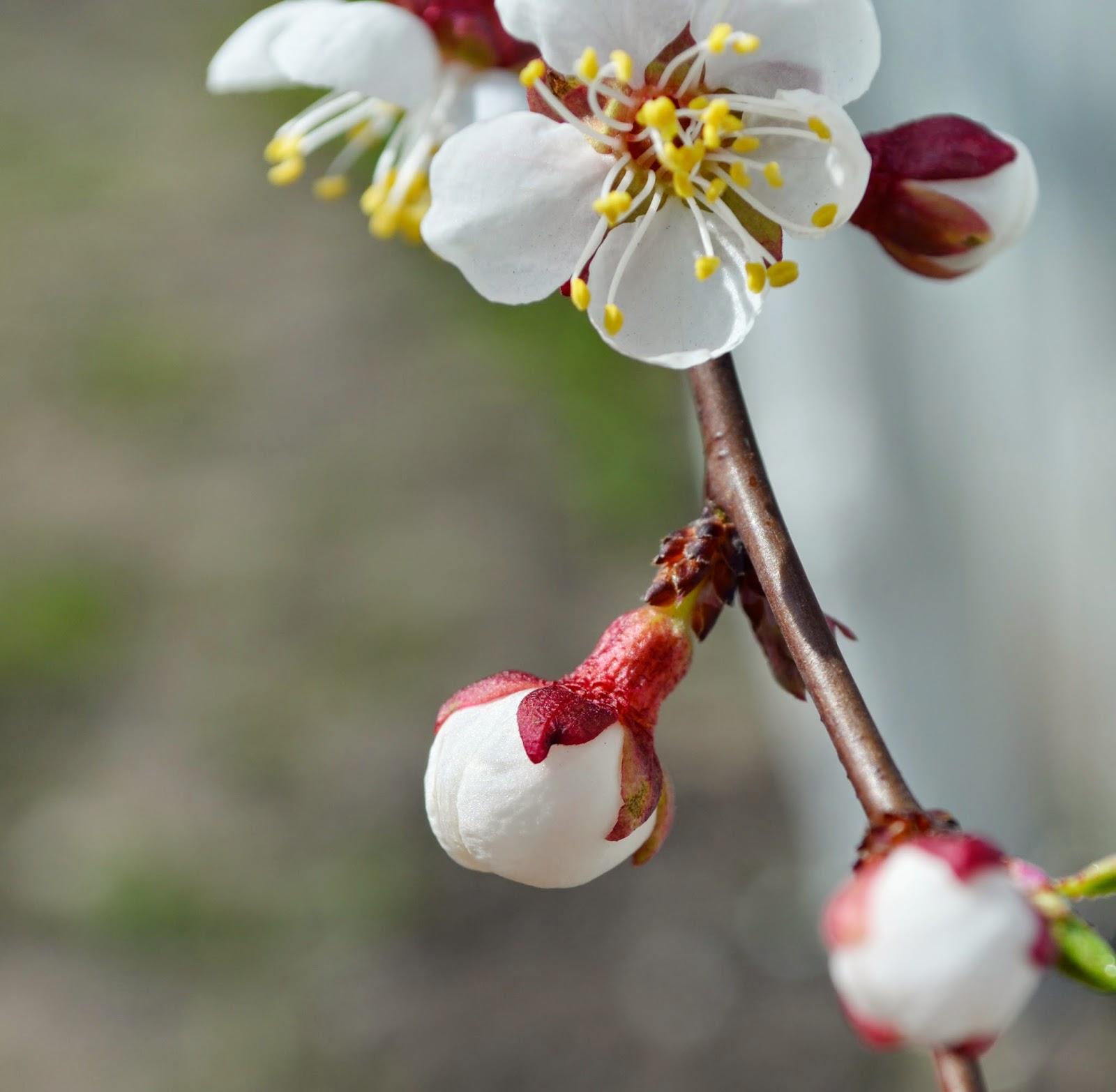как цветет абрикоса, apricot
