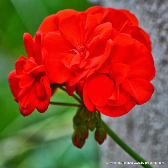 цветок пеларгонии красный