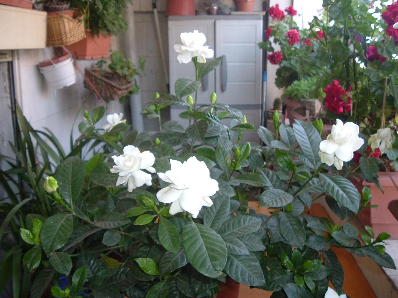 Plantas Para Terraza Con Mucho Sol. La Arvejilla O Gisante De Olor ...