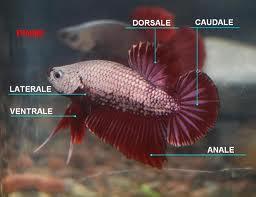 the green aquarium: speciale betta splendens - Allestimento Acquario Per Betta Splendens