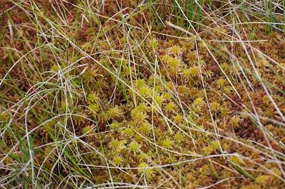 Sphagnum Moss (Sphagnum sp)
