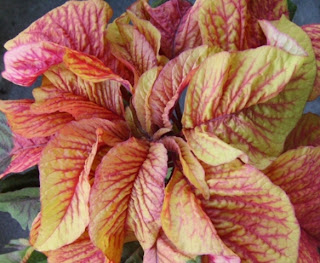 Red and yellow Amaranthus tricolor 'Illumination'