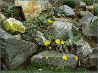 Hieracium tomentosum - Jastrzębiec kutnerowaty