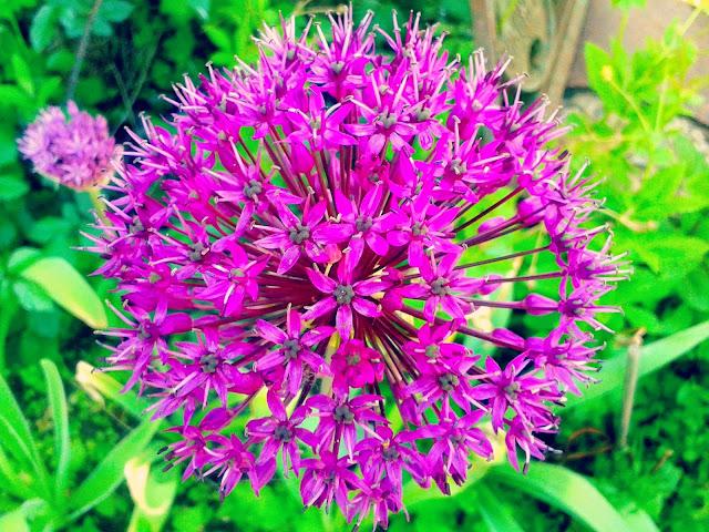 Project 365 2015 day 141 - Allium // 76sunflowers