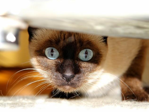 Eliminaci�n inadecuada: �mi gato orina fuera de su bandeja!