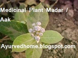 Introduction to Madar or Aak Medicinal Plant,  आक का एक औषधीय पौधा , Madar plant, Medicinal use of madar, aak ka paudha, three categories of Madar plant, Ark ka paudha, Aak paudha se dwai, Different name of Madar,