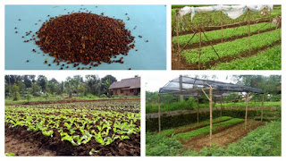 Budidaya selada keriting organik