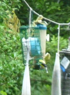 goldfinch pair on feeder