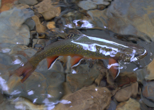 Photo of the Month: Brook Trout