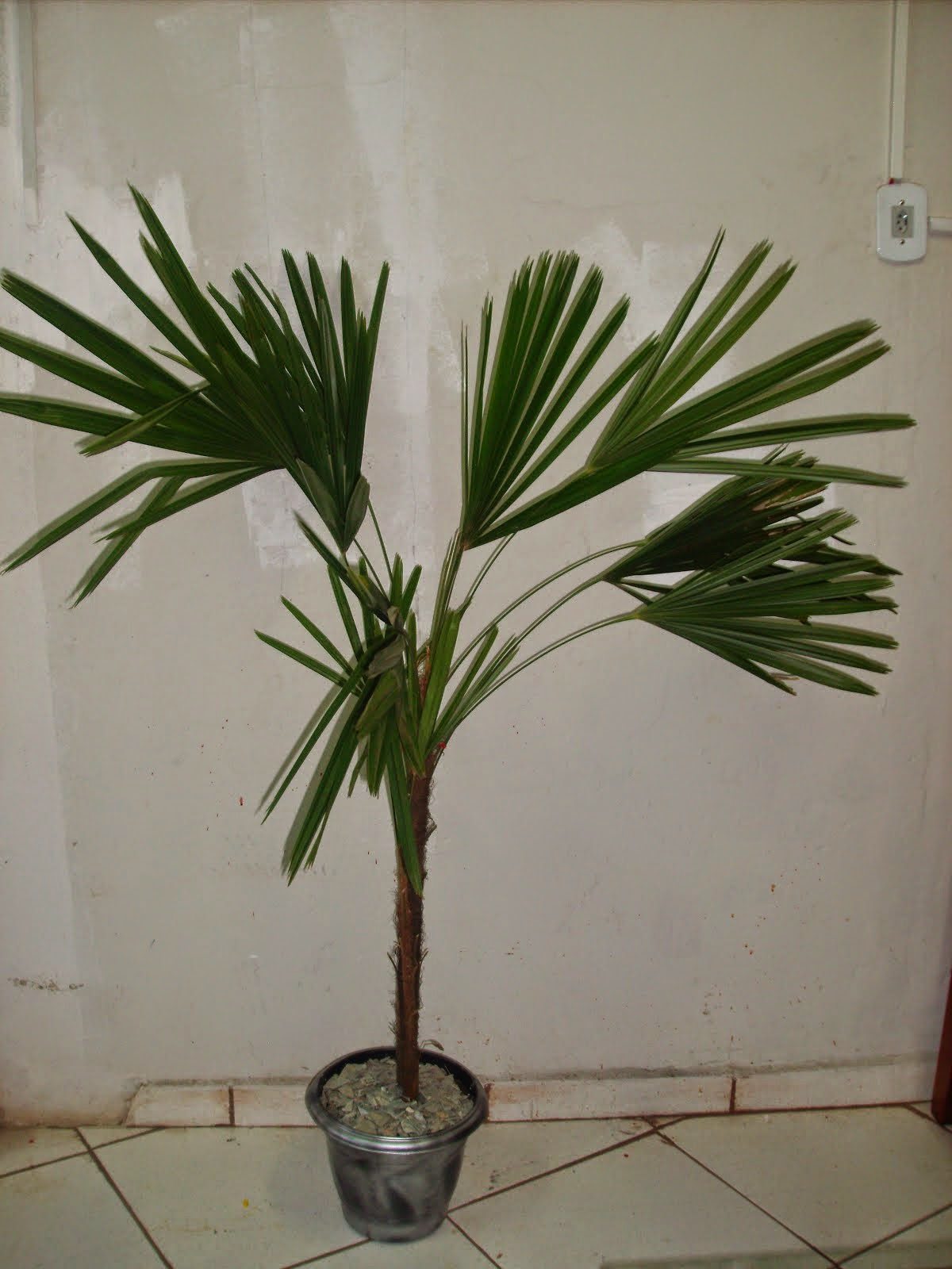 Palmeira raphis natural tamanho grande